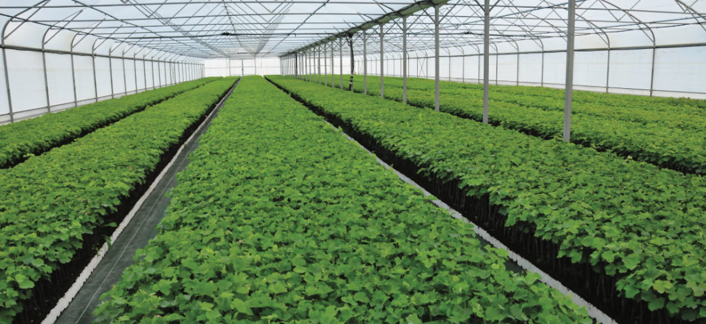 GREFFÉS SOUDÉS TRADITIONNELS Utilisation : de novembre à juin pour plantations et complantations.